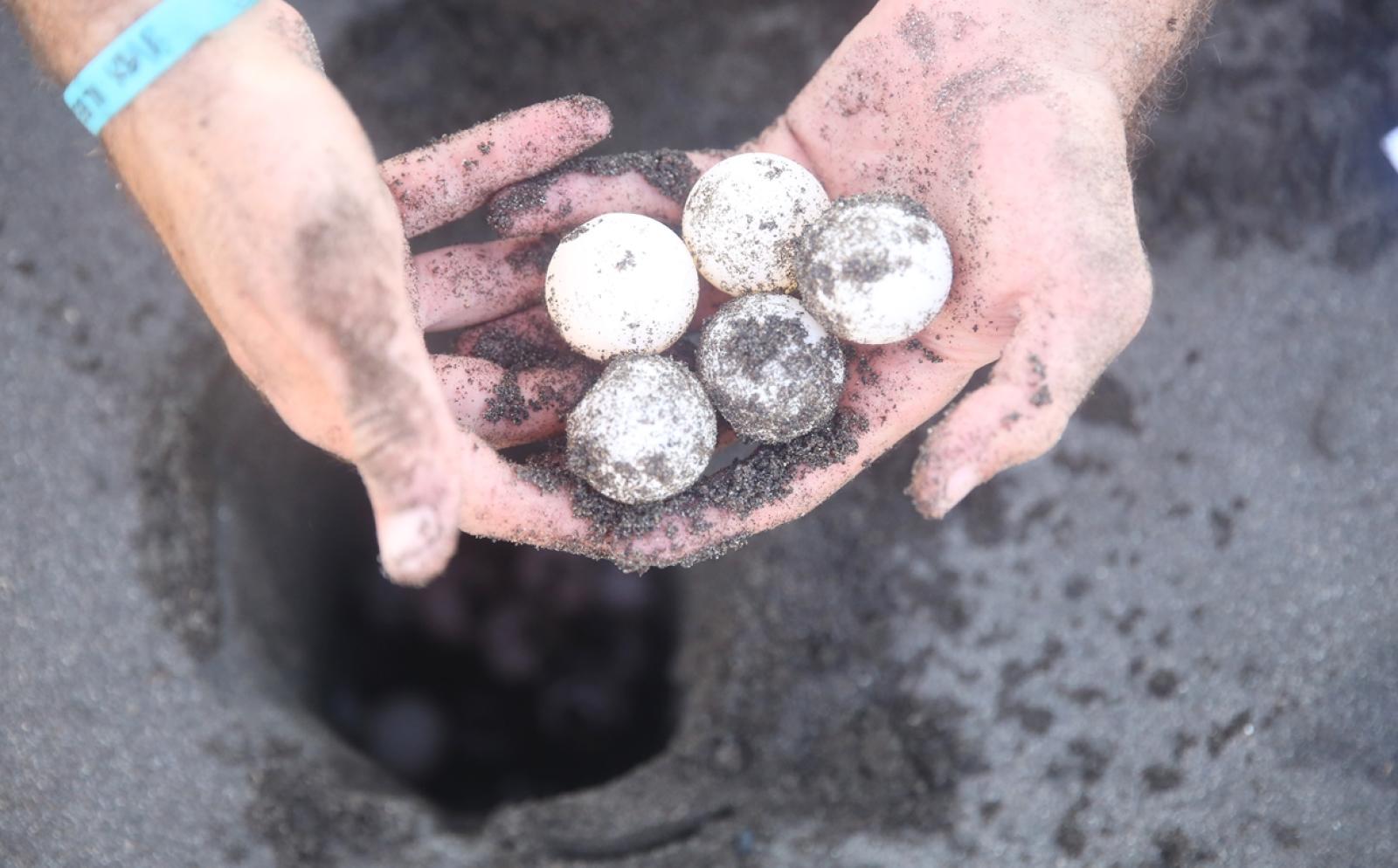 メキシコのビーチから保護したウミガメの卵を孵化場に埋める高校生ボランティア